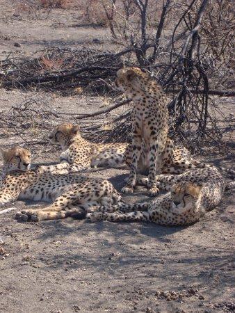 Royal Madikwe Luxury Safari Lodge: Coalition of Cheetahs