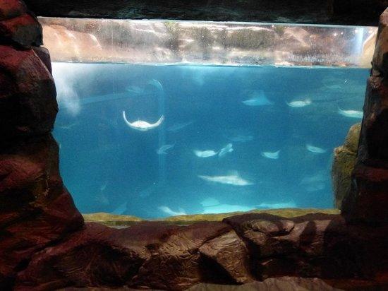 Stingraybay Ripley 39 S Aquarium Of The Smokies Picture Of