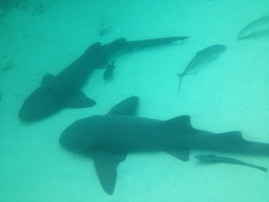 Club Peace & Plenty Exuma Island: Swimming with these nurse sharks, you can pet them aswell
