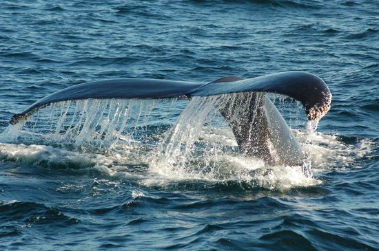 Scituate, MA: Humpback whale tail is displayed as the animal dives in the sanctuary (Anne Smrcina, NOAA/SBNMS)