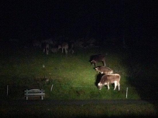 Baita Luleta: mucche in uscita serale nei dintorni di Livigno!