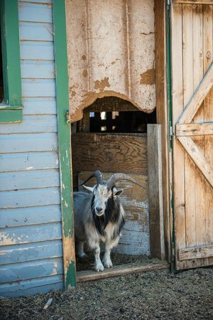 Grand Junction, CO: The resident Billy Goat