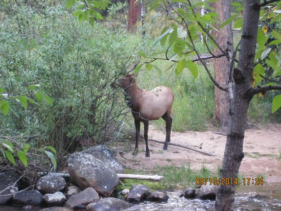 Swiftcurrent Lodge On The River: Elk across the river