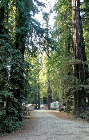Fernwood Resort : Tent cabins nestled between giant redwood trees