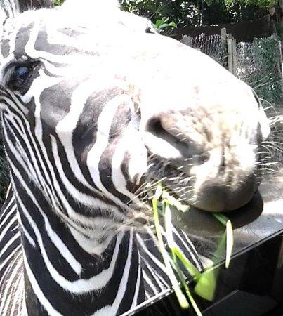 Taman Safari Indonesia Cisarua: feeding the Zebras