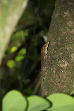 Smarty Tour & Spa: Anolis sp
