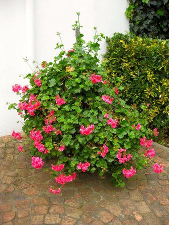 Malvern Manor Country Guest House: Spring Flush of Geraniums
