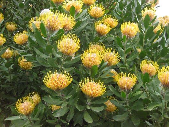 Malvern Manor Country Guest House: Spring Proteas in Garden