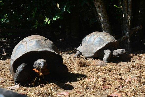 Riesenschildkröten im Gehege