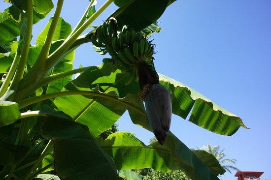 Belconti Resort Hotel: бананчики