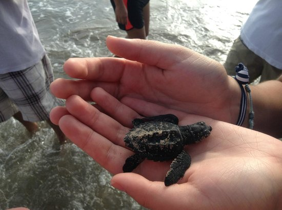 Hotel Victoria: Soltar una tortuga bebe