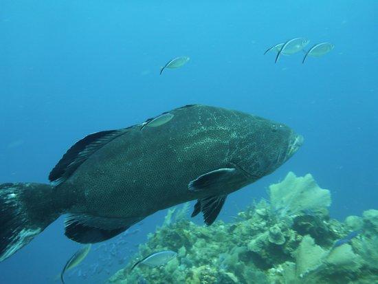 Scuba Roatan: Big Grouper