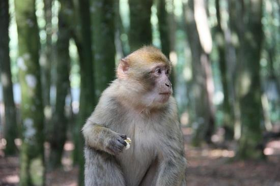 Affenberg Salem: aap met stukje popcorn
