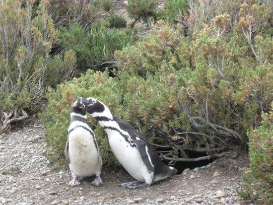Cabo Vírgenes: Pingüinos en sus nidos