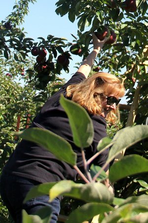 Honey Pot Hill: Up the ladder to pick the highest apples