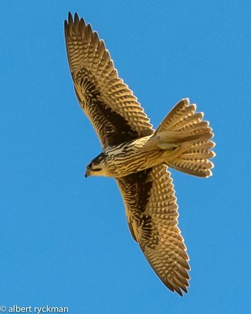 Princeton, OR: Raptor Quest: Prairie Falcon