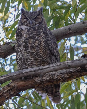 Princeton, OR: Owl Quest:  Great Horned Owl