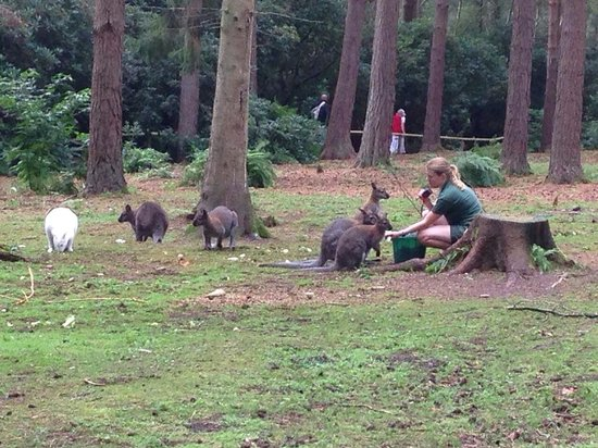 New Forest Wildlife Park: Some of the wallabies being fed