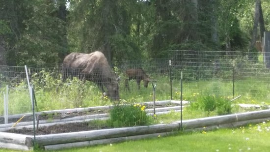 Alaska Hooksettters Lodge: Moose in Garden