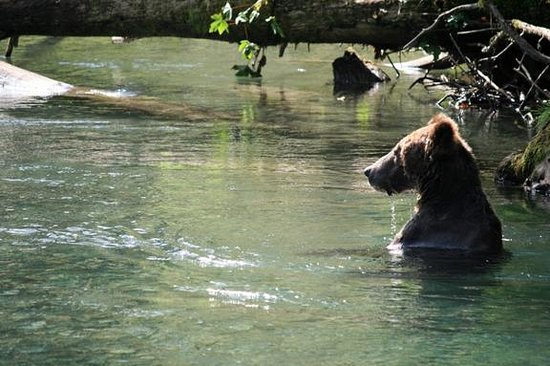 Campbell River Whale Watching and Adventure Tours: Male Grizzly