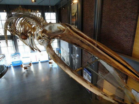 New Bedford Whaling Museum: Huge whale skeleton