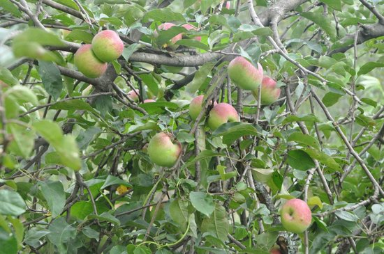 Ramgarh, Indien: Apple Tree