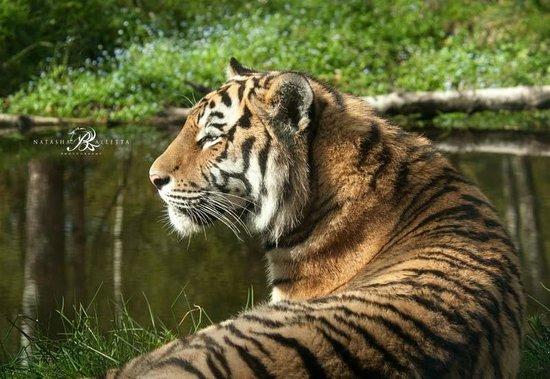 Ardlogie Guest House : Amur Tiger enjoying the sun at Highland Wildlife Park