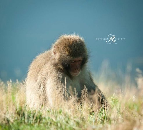 Ardlogie Guest House : Japanese Macaque Monkey