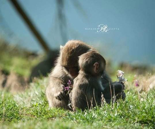 Ardlogie Guest House : Japanese Macaque Monkey with their baby