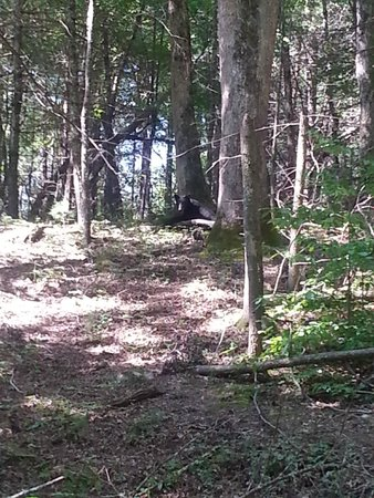 Cades Cove Visitor Center: Black Bear encounter