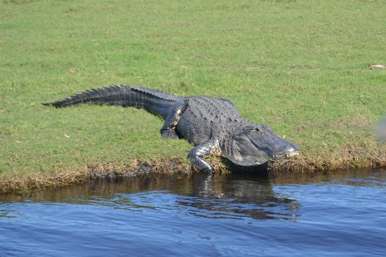 Ray's Airboat Rides: Always Alligators