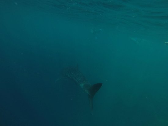 Rangali Island: Whale shark...I have an amazing video of this