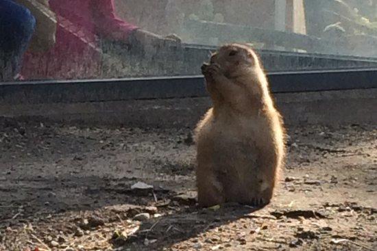 Blank Park Zoo: Prairie Dogs