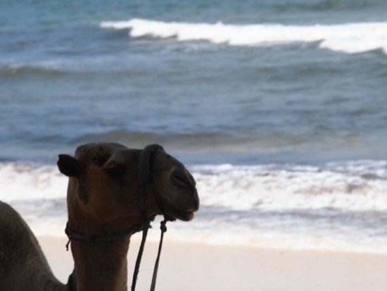 Turtle Bay Beach Club : Camel on the Beach