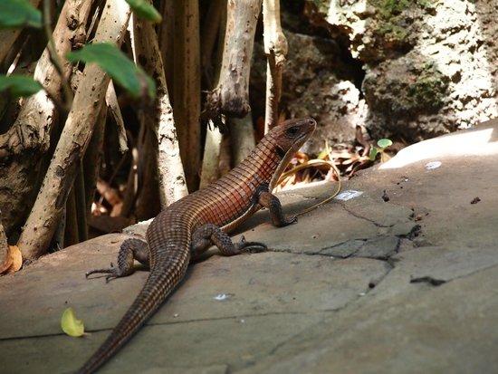 Turtle Bay Beach Club : Lizard