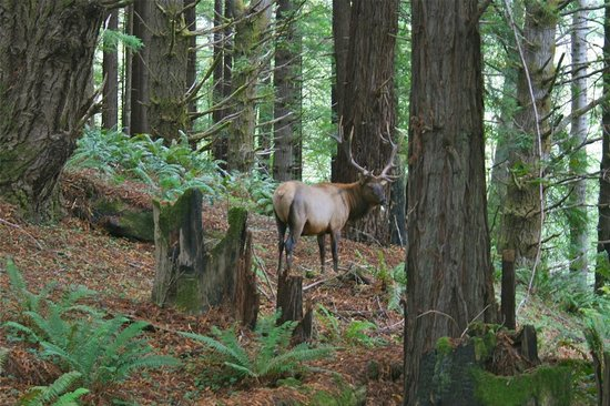 Mendo Insider Tours-Day Tours : Roosevelt Elk in Sinkyone Wilderness