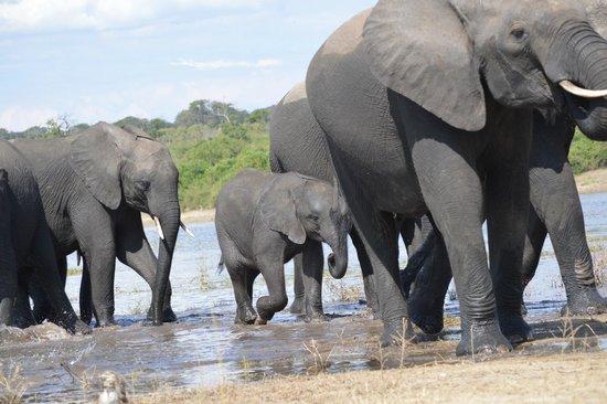 Muchenje Safari Lodge: large herds of elephants at Chobe