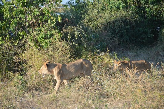 Muchenje Safari Lodge : A lucky encounter with the lioness and her cubs