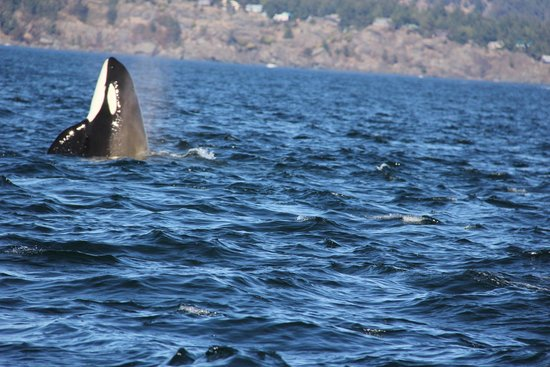 Sidney Whale Watching: Granny Spy-hopping