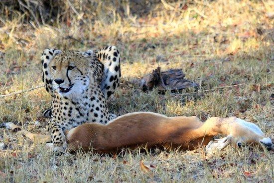 MalaMala Main Camp: cheetah at a kill