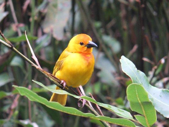 Pinewood Beach Resort & Spa : Weaver bird