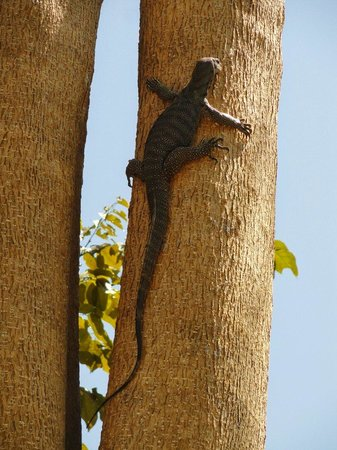 Krabi Thai Village Resort : Resident lizard