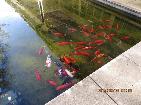 Fish In Pond Anu Gardens Picture Of University House
