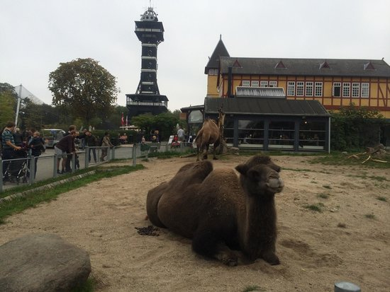 Copenhagen Zoo: Camels and zoo tower.