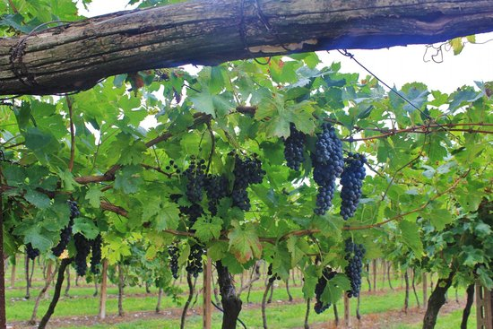 Violetta B&B: Beautiful grapes from surrounding vineyards