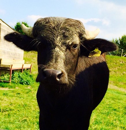 Harry Tuffins Country Park: Moo!