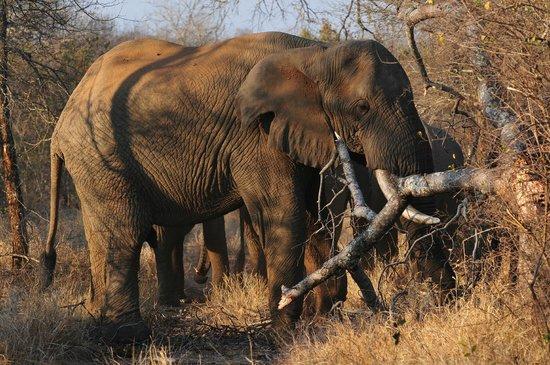 Kuname Lodge: elefanti