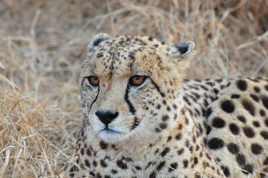 Kuname Lodge: ghepardo
