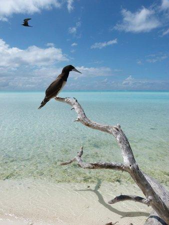Escapade Charter Tahiti, Day tours : Fou brun sur l'île aux oiseaux de Tetiaroa
