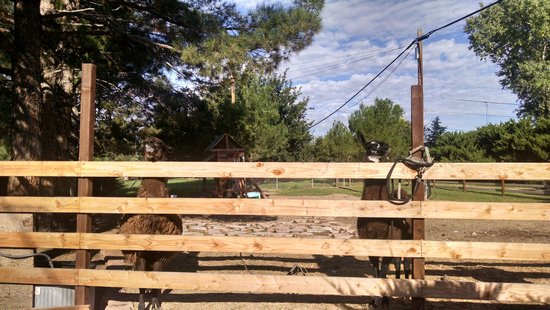 Desert Rose Bed and Breakfast : Friendly llamas